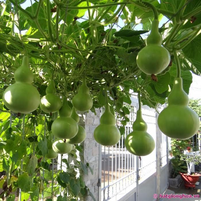 vuon-bau-ho-lo-birdhouse-gourd.jpg