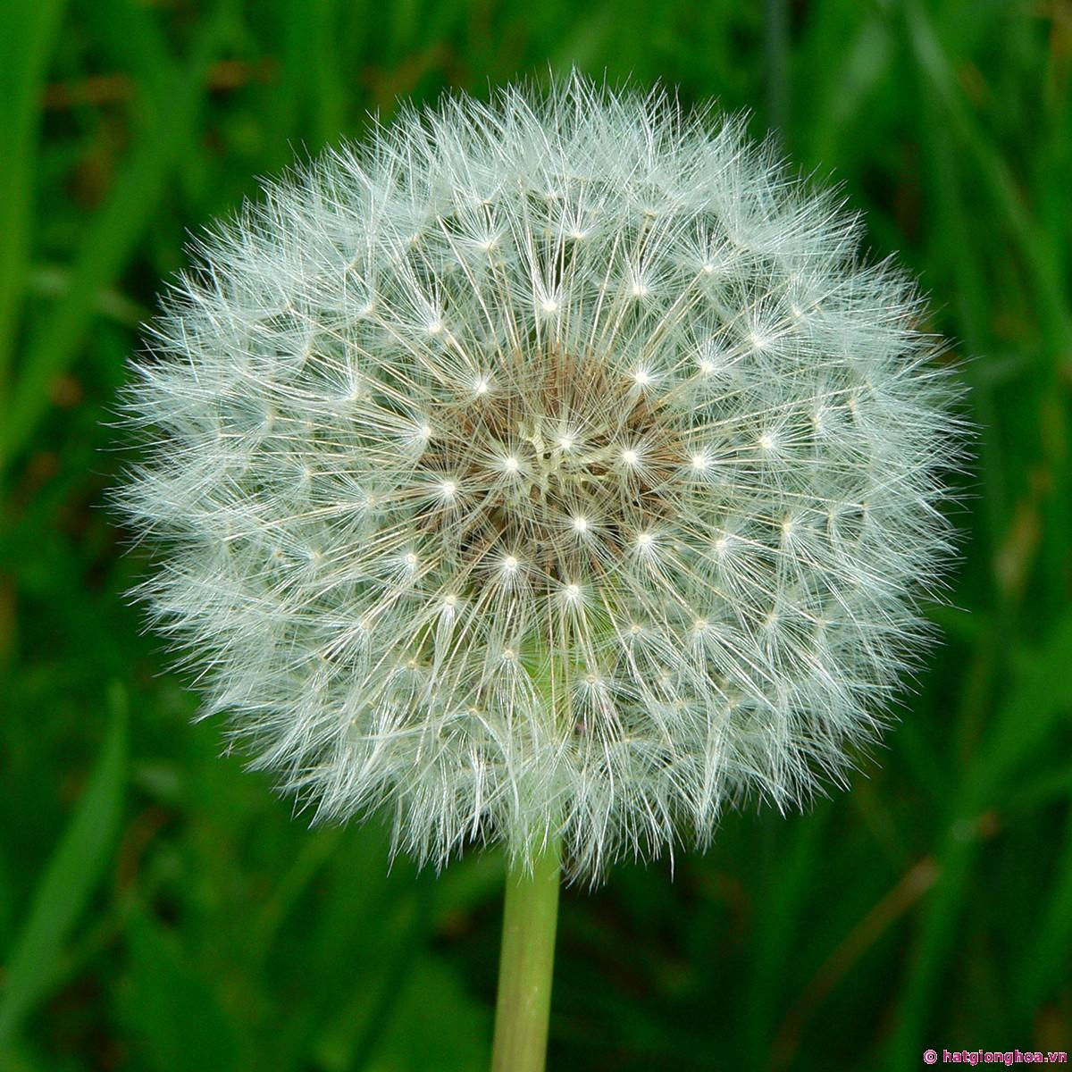 hoa-bo-cong-anh-dandelion.jpg