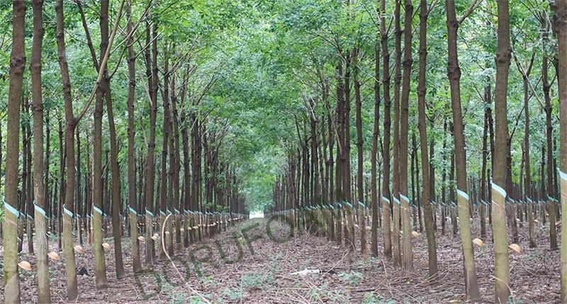 Nệm Cao Su Thiên Nhiên Đồng Phú Chính Hãng size 140x200x10cm Tặng Áo Bọc Nệm