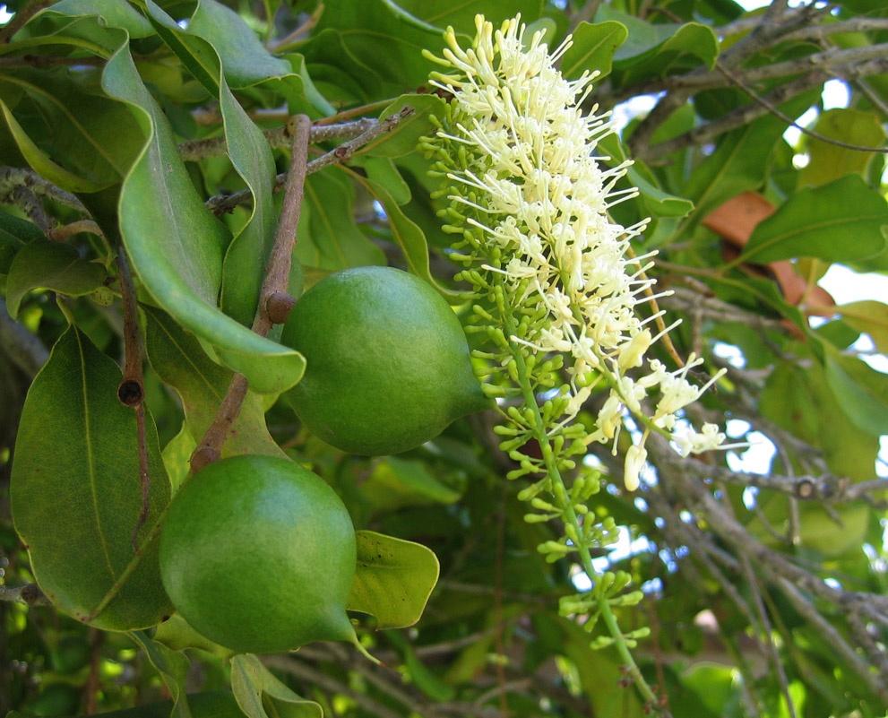 macadamia flowersfruit