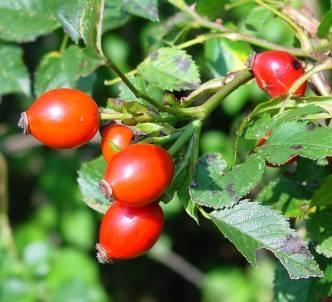 Thảo quả hoa hồng- nguồn Vitamin C tự nhiên