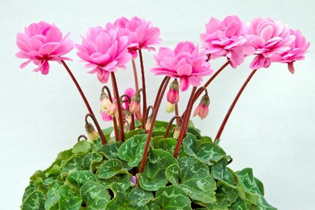 Kỹ thuật trồng cây và chăm sóc hoa anh thảo đẹp hút hồn - ảnh 2