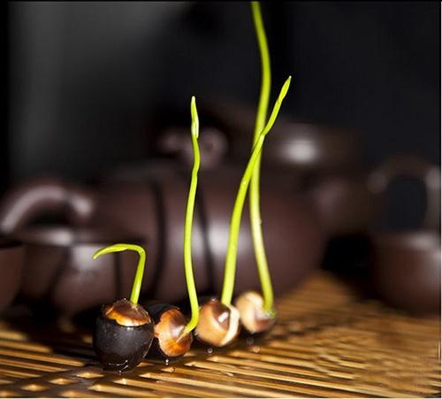 Các giai đoạn phát triển của hạt giống sen mini nhật bản - lotus