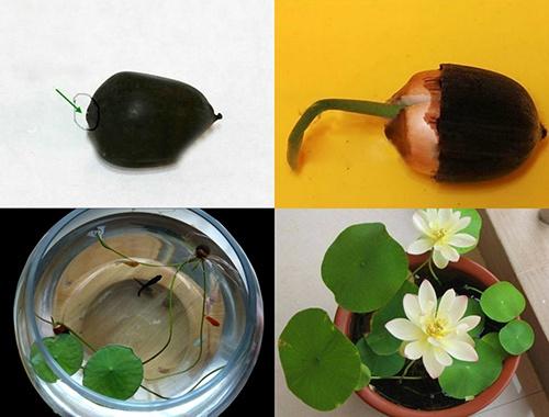 Hướng dẫn cách trồng Sen Mini Nhật từ hạt giống