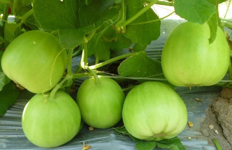 Kỹ thuật trồng dưa lê siêu ngọt cho năng suất cao nhất - ảnh 3