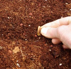 Hướng dẫn trồng bầu hồ lô - loại quả ngon có hình thức siêu yêu 3