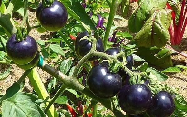 cà chua đen mỹ