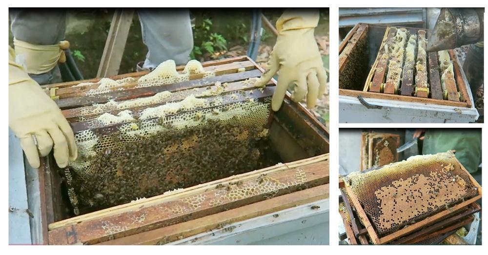 lấy cầu ong ra khỏi tổ ong ShopBee